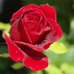 Stadt der Rose